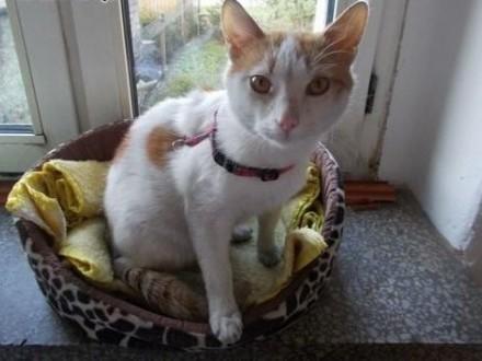 Roczny  biało-rudy kocurek szuka domu!   Koty pospolite cała Polska