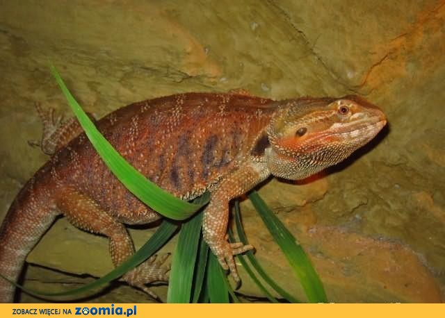 Agama odmiany Red/Orange Leatherback