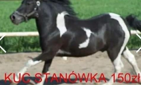 Kuc 120 cm wzrostu posada licencję na krycie kucy i małych koni
