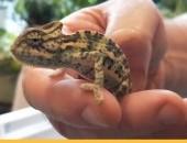 Kameleon jemeński młode
