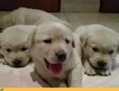 Oddam 7 szczeniaków Labrador Retriever,  małopolskie Kraków