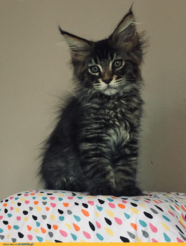 Piękne kocięta Maine Coon !,  Koty maine coon cała Polska