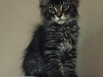 Piękne kocięta Maine Coon !   Koty maine coon cała Polska
