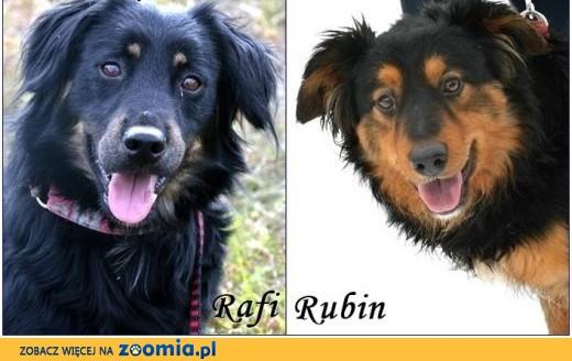 Dwa piękne, młode psy w typie hovawarta - Rafi i Rubin :),  warmińsko-mazurskie Olsztyn
