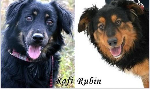 Dwa piękne  młode psy w typie hovawarta - Rafi i Rubin :)   warmińsko-mazurskie Olsztyn