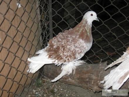 Gołębie loczki tanio