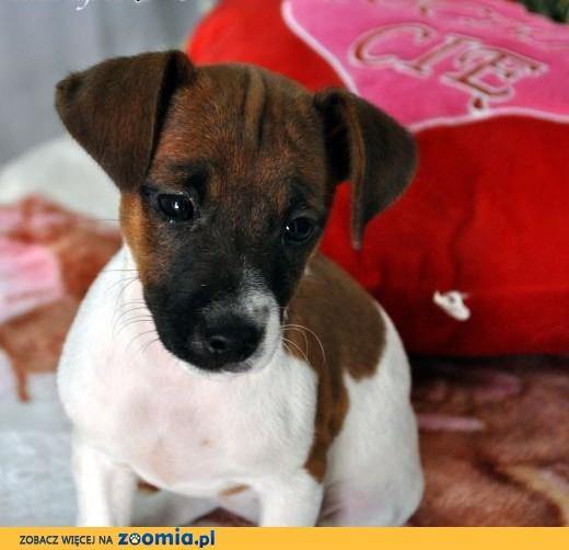 Jack Russell Terrier suczka.,  mazowieckie Sochaczew