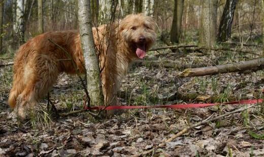 Falkor  zjawiskowo piękny i dobry pies   śląskie Gliwice