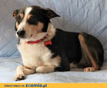 KROPI - 10 kg, nieduży, kochany psiak do adopcji,  mazowieckie Warszawa