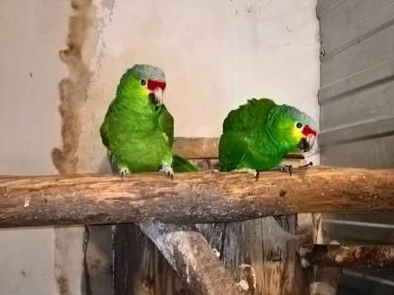Amazonki zółtolice autumnaliz para lęgowa