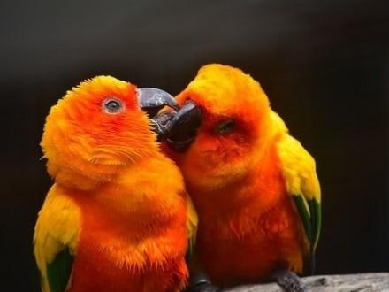 kupię papugi konura słoneczna