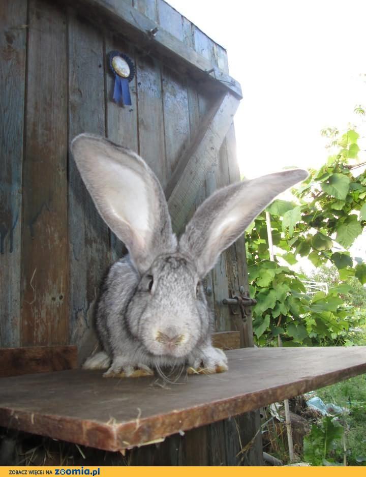 Sprzedam króliki 3 samczyki BOB i BO Szynszylowaty