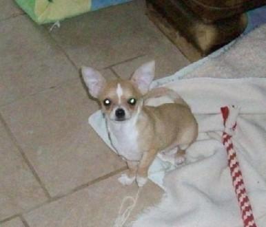 Chihuahua Krótkowłosa Rodowodowa FCI