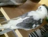 Sprzedam 2 papugi Nimfy wraz z dużą klatką w pełni wyposażoną,  małopolskie Kraków