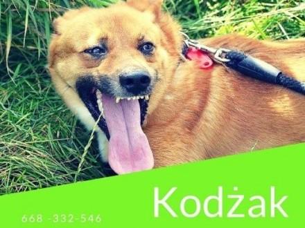 Kodżak ma pół roku na znalezienie domu Jego schronisko jest likwidowane   małopolskie Kraków