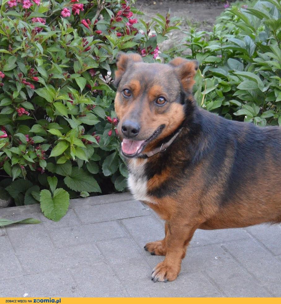 Domowy Misio, grzeczny, nakolankowy psiak do adopcji