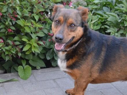Domowy Misio  grzeczny  nakolankowy psiak do adopcji