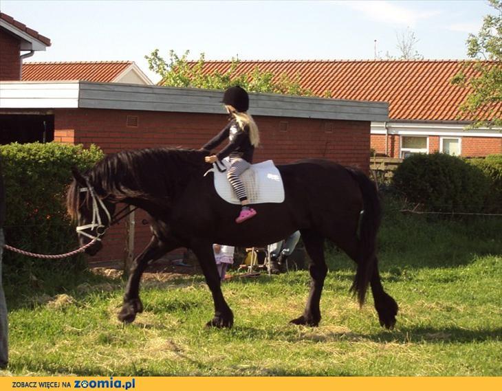 Delikatny fryzyjski koń klacz z wielką perspektywą