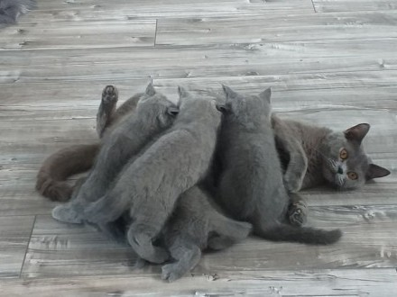 Rezerwacja na kotki brytyjskie niebieskie wolna jedna kotka dziewczynka