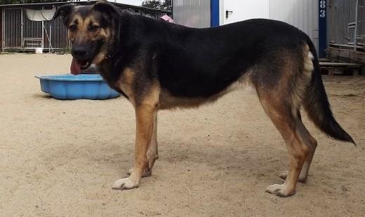 Psia indywidualistka Pexi szuka domu!   dolnośląskie Głogów