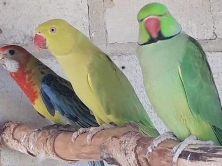 Papugi Aleksandretty Rozelle Nimfy Kozy