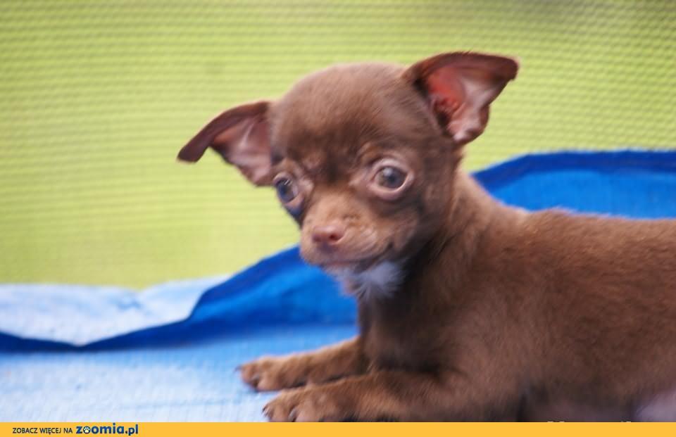 Chihuahua piesek czekoladowy