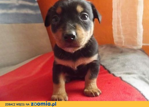 Ogromny Oddam szczeniaki, kujawsko-pomorskie Lipno Lipno « Oddam psa Lipno DB41