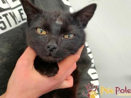 RACUSZEK-Mały czarny powypadkowy kotek szuka kochającego domu