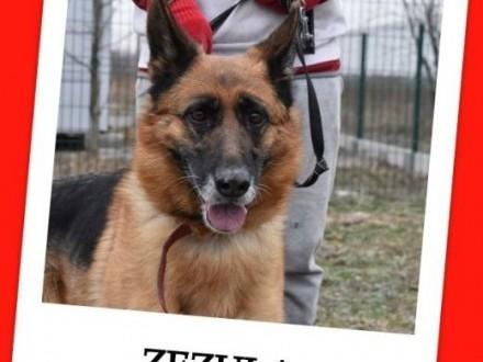 5 letnia duża suczka owczarka niemkontaktowa sterylizowana ZEZULAAdopcja   dolnośląskie Wrocław
