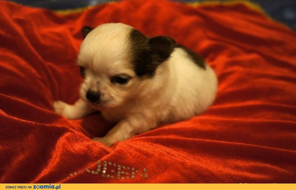 Chihuahua Długowłose FCI              Rodowód