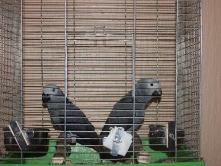 Papugi Zako -cała dokumentacja + Cites