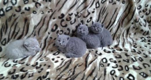 Kot brytyjski koty brytyjskie liliowe niebieskie   śląskie Częstochowa