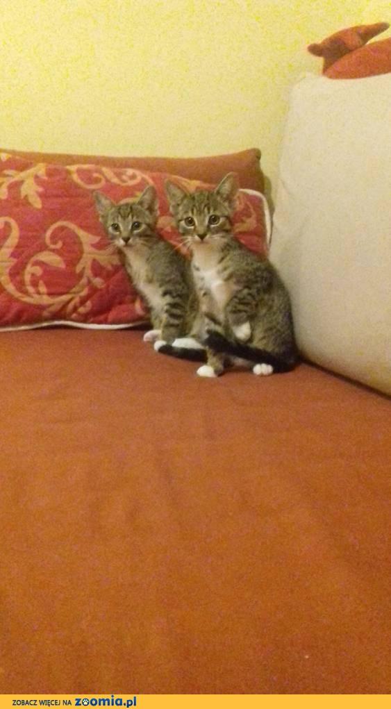 Dwa małe, bure kociaki szukają domów
