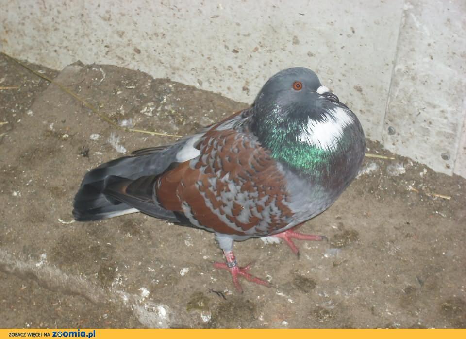Gołębie koszua czerwono-łuskowane