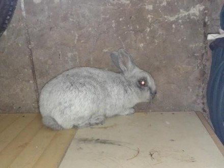 Sprzedam króliki: WJS oraz Barany Francuskie