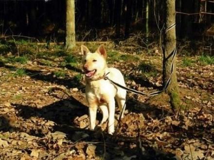 Suri - przyjazna sunia w typie husky szuka kochającego domu   śląskie Sosnowiec