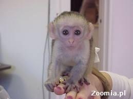 kapucynów małpy do przyjęcia