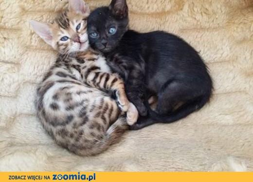 Genialny Kot bengalski - mały lampart , wielkopolskie Konin « Bengal « Cats TS22