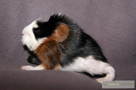 świnka morska samczyk coronet z rodowodem