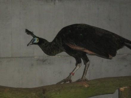 Pawie Jawajskie