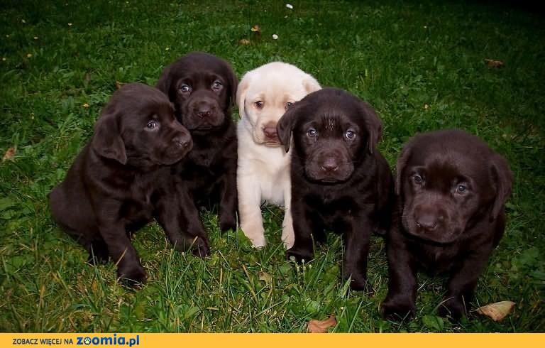 Labrador -czekoladowe