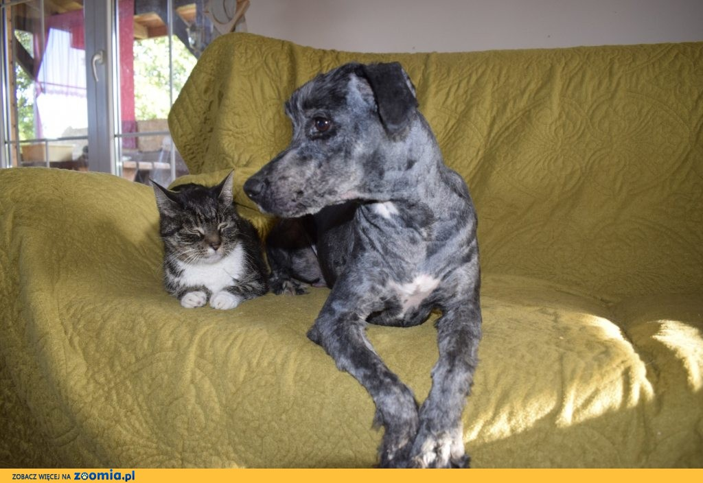 Azorek, psi kanapowiec, kotolubny i psolubny psiak do pokochania!