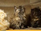 Piękne kociaki koty perskie zachodniopomorskie Szczecin Koszalin