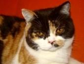 roczna kotka brytyjska z rodowodem FPL