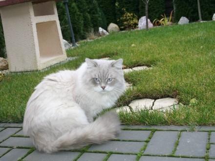 Kocurek suberyjski Neva Masquarade szuka koteczki na randkę Reproduktor  Kamionki