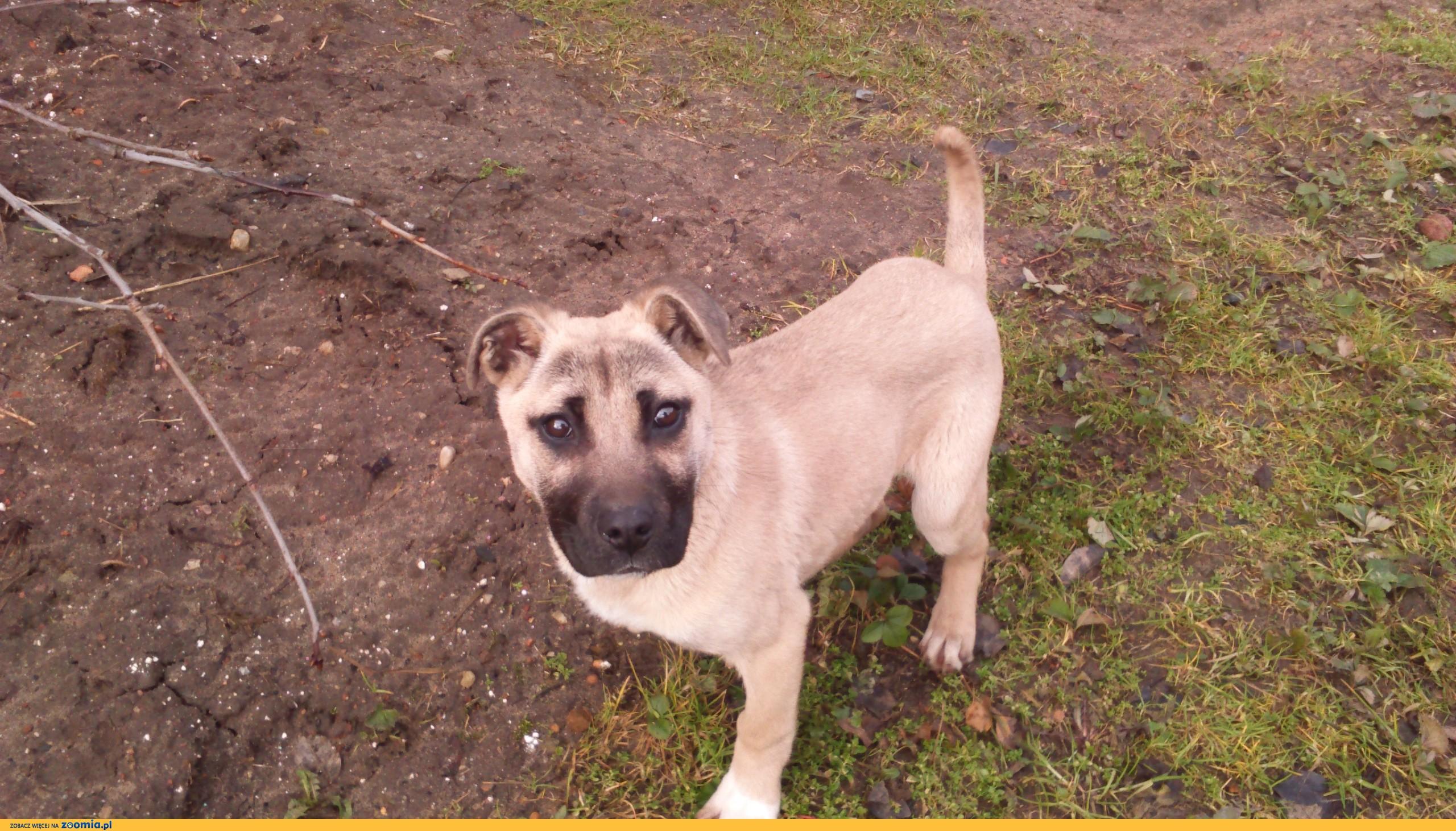 Nowość Ogłoszenia: oddam psa, oddam szczeniaka w typie Amstaff pl 1 JA45