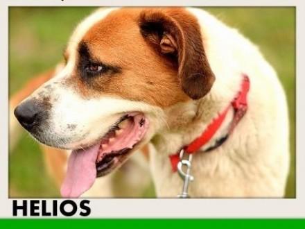 50kg bernardyn mix młody przyjazny pies HELIOSAdopcja   łódzkie Łódź