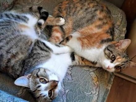 KLARA I HUGO - 8 miesięczne kotki do adopcji