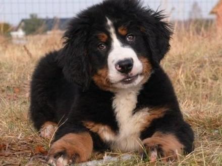 Berneński pies pasterski - piękna szczenięta szczeniaki ZKwP/FCI