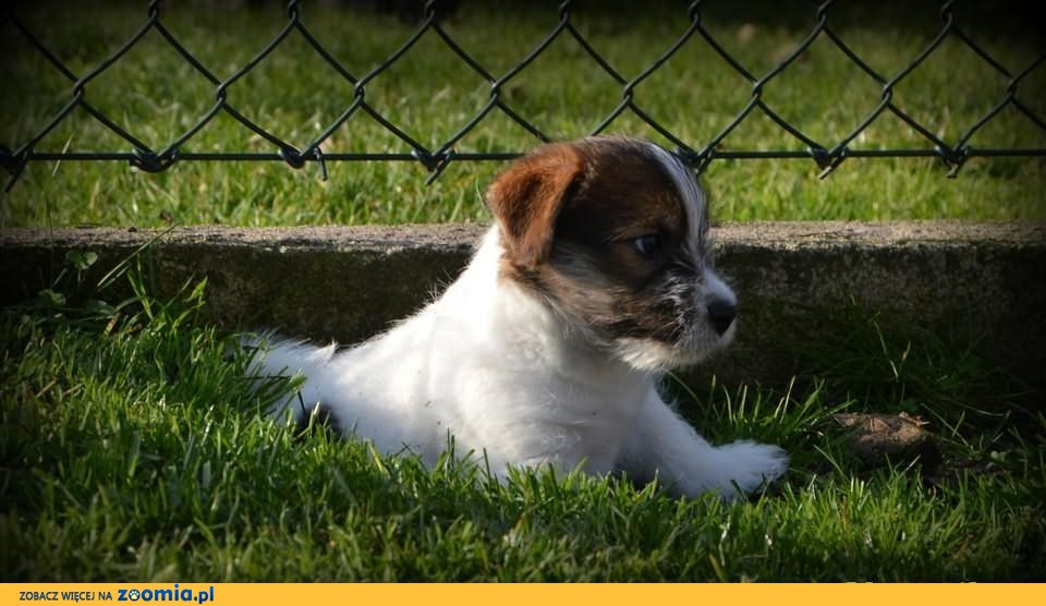 jack russell terrier - dwa pieski